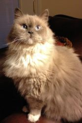Bella is an adoptable Ragdoll Cat in Columbia, SC. beautiful full bred Blue Point