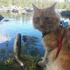 Are you sure?,is mine fish bigger an dads? #cat #katterpåinstagram #katt #catlover #catworldwide #norway #catoftheday #cats_of_instagram #catsofinstagram #catstagram #Jesperpus#thedailykitten #Mountain #adventurecat #awesomecat #agriakatt #agrianorge #bestmeow #bestevenn #adventurecats #redcat #mountain #petsnorge #instagramcats #instacat #petstagram #cat_features #thecataward