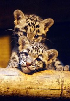 Two leopard cubs looking toward the camera, over a log.