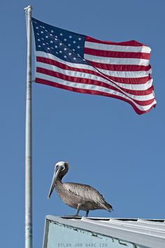 Patriotic Pelican   Photo by: Dylan Jon Wade Cox   #pelican #usa #freedom #america #flag #independenceday #djwc #sarasota #srq #annamaria #florida #summer #birder #birdwatching #photography #nature #wildlife