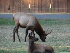 Elk in Packwood WA