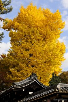 Great Ginkgo biloba tree,Tamukeyama Hachimangu Shrine #Nara #Japan