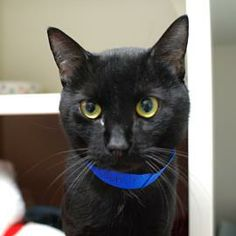 Alcott is a 2-year-old sleek black kitty with the look of a panther. He was transferred to Lollypop Farm from another shelter. Alcott is an affectionate gentleman who will go belly up just to get your attention. He has a big rolling purr and trills to show how much he enjoys the attention. Looking for an interactive kitty and overall good boy? Then Alcott may be the guy for you!