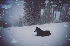 #wolf #wolves #sandiapeak  #Midnight  #snowboarding  #ridingwithwolves #wolfpack  #mydog