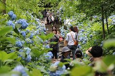 Sean's Japan Travel Journal: Hydrangea Flowers in Kamakura