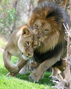 Love Bite Lion