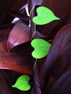 beautymothernature: Beautiful Heart-shaped vine...