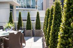 Boxwood screen, rooftop garden.