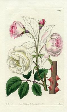 still life quick heart — M. Hart  Ruga Rose  1831