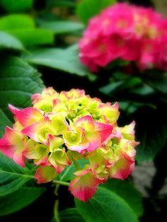Hydrangea turning pink