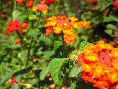texas native plants  lantana