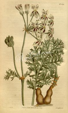 1641-pelargonium triste filipendulifolium, Drop-wort-leaved Night-smelling Pelargonium   ...