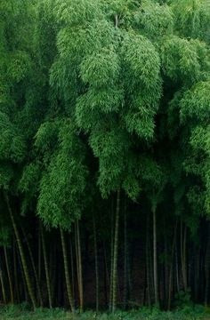 Bamboo forest. Essentially a colony that can sprout overnight grow for months and then die-off all at once.