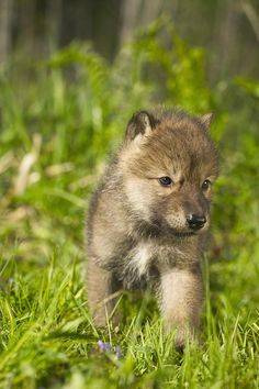 Wolf Pup In Grass Captive Minnesota Photograph