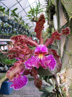 Cattleya schilleriana  Beautiful!