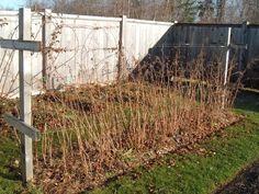 Из-за особенностей строения корневой системы малина часто вымерзает с наступлением холодов и весной во время возвратных заморозков. Ее нужно утеплять и оберегать нежные корни при помощи органических и неорганических материалов.