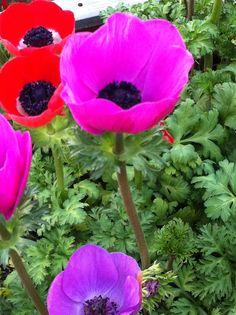 Flores, primavera, signo Aries