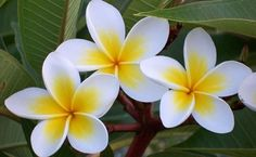 How to grow Frangipani trees - BHG
