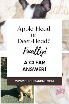 I'm going to share with you once and for all exactly how to tell the difference! It's more than just the head shape. #chihuahuacare, #applehead chihuahua, #deerheadchihuahua, #chihuahuapuppies, #seniorchihuahua, #chihuahuadogs, #chihuahuamix, #chihuahuafacts, #chihuahuaarticles, #chihuahuahelp, #chiwawa, #chihuahuaproblems, #chihuahuawebsite, #chi, #littledogs, #tinydogs, #minidogs