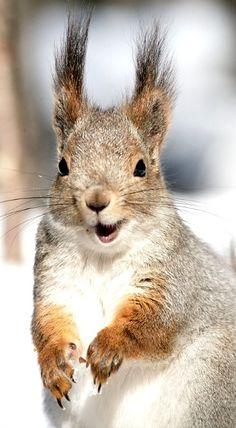 Get's hair done where donald John tRump, get's his hair done. Squirrel Pictures, Animal Pictures, Beautiful Creatures, Animals Beautiful, Animals And Pets, Funny Animals, Wild Animals, Cute Squirrel, Squirrels