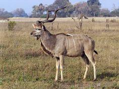 Kudu --- touro