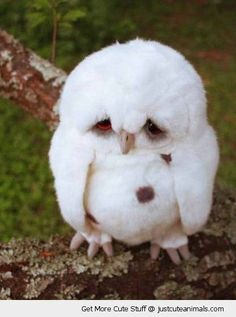 baby owl owlet sad fluffy white feathers cute animals wild wildlife species planet earth nature pics pictures photos images
