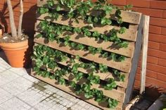 Pallet strawberry planter, use two pallets stacked against each other for more soil/better roots. Saves lots of space, and a similar idea can be used for lettuce, broccoli, and spinach.