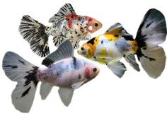 Shubunkin Goldfish, Golden Fish, Types Of Gold, Fish Fish, Carp, Fancy, Image, Animals, Aquarium Fish
