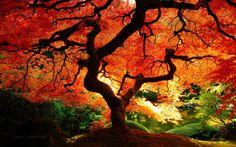 A bright orange-red lace-leaf maple