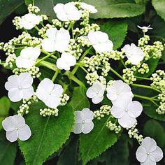 Kletter-Hortensie 'Semiola®',1 Pflanze