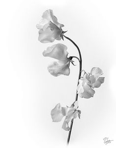 Sweet Pea Drawings | Sweet Pea Flower Drawing Black And White White japanese sweet pea - fm