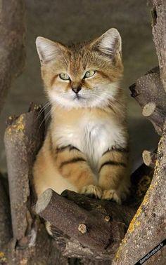 image drole - Le chaton des sables