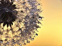 Beautiful Macro Photos of Sparkling Dew on Dandelions