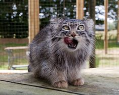 Pallas's cat....Mmmmm the melted hearts of girls are so delicious...(sorry I have a twisted sense of humor but its true, my hearts melts at these little furballs)