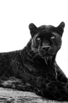 black jaguar, so beautiful, they almost look purple Black Animals, Cute Animals, Wild Animals, Beautiful Cats, Animals Beautiful, Black Panther Cat, Wild Panther, Jaguar Animal, Image Mode
