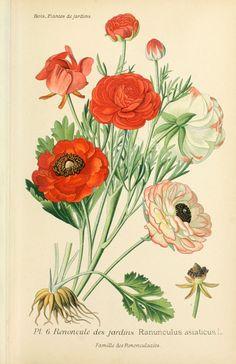 Vintage Botanical Prints - Botany Re-Prints - Vintage Botanical Prints, Botanical Drawings, Botanical Illustration, Art Floral, Botanical Flowers, Botanical Art, Flower Prints, Flower Art, Impressions Botaniques