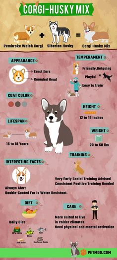Corgi Husky Mix is a cute cross-breed between a Welsh Corgi and a Siberian Husky. Find Out The Sizes, Health Issues, Price & Corgi Husky Facts. Husky Corgi Mix Puppies, Corgi Mix Breeds, Siberian Husky Puppies, Dog Breeds, Husky Facts, Corgi Facts, Pembroke Welsh Corgi, Mixed Breed, Infographics
