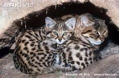 Black-Footed Cat Kitten - Bing Images