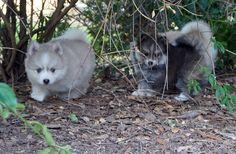 Past puppies Pomsky Puppies, Cute Puppies, Acacia, Past, Husky, Dogs, Animals, Animais, Animales