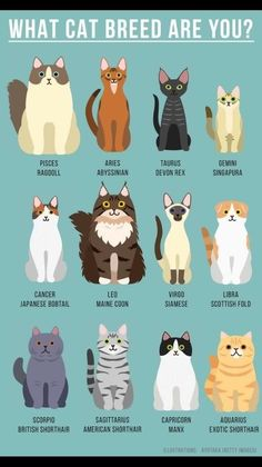 Most current Cost-Free cat breeds japanese bobtail Thoughts Kittens and cats along with significant ears could become the most lovely pets from the world. These special strains th Maine Coon, Japanese Bobtail, Bobtail Japonais, Cute Cats, Funny Cats, Cats Humor, Baby Animals, Cute Animals, Animals Images