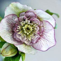 Okay, now these are my  #1 favorite flower, if I die lie me in a bed of Hellebore's, they are simply breathtaking  Kathryn Hunter