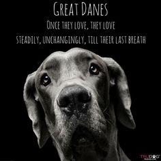 #greatdane ❤️