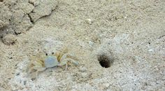 Marriott Grand Cayman Beach Resort: crabs on the beach
