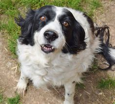 **** SENIOR NOT AVAILABLE FOR RESCUE OR ADOPTION AT THIS TIME *** Betty's Adoptable Sanctuary Dogs- Shiloh is a spaniel and is very shy. With some love and time she would warm right up!! She needs a home to give her the love and security to live life to the fullest! The dogs are located in Iola, Texas, which is near Navasota and Bryan College Station. If you have any adoption or rescue questions please contact me by email at iolasanctuarydogs@att.net.
