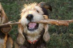 Otterhound. 401.300.0_f2.jpg