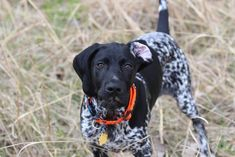 Wicked Training Your German Shepherd Dog Ideas. Mind Blowing Training Your German Shepherd Dog Ideas. Gsp Puppies, Pointer Puppies, Pointer Dog, German Shorthaired Pointer Black, Akc Breeds, German Shepherd Puppies, German Shepherds, Shepherd Dogs, Hunting Dogs