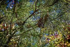 Looking into the pines gives an amazing array of textures and colors. The abstract shapes of nature cannot be equaled as shown in this image.