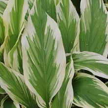 Curcuma petiolata 'Snowdrift' for sale buy Curcuma longa 'Snowdrift'