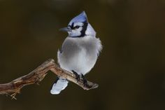 Blue Jay by Jim Cumming - Photo 131737633 - 500px