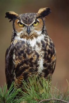 """Great Horned Owl (Bubo virginianus) - Picture 11 in Bubo: virginianus - Captive """"Sam"""", aged 15 years. Photo by Mike Flaherty."""